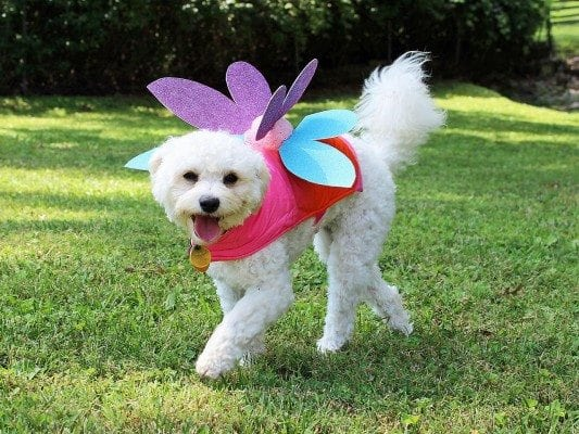 fairy costume dog
