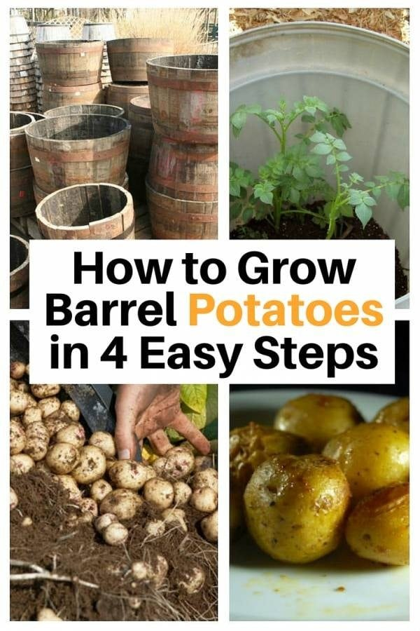 Maximize your potatoes produce in 4 easy steps. This barrel gardening is not only cheap but also protects your delicate plant.
