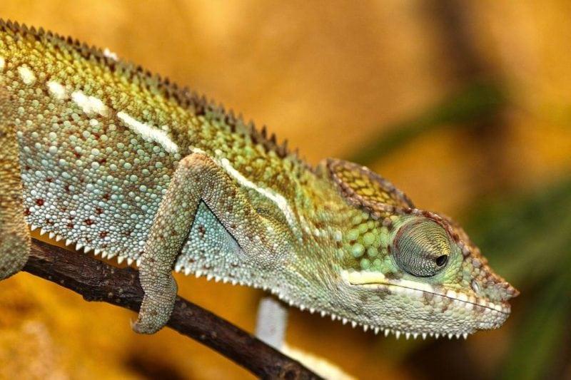 chameleon-200319_1920