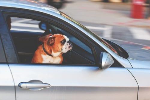 Dog sitting inside of a car